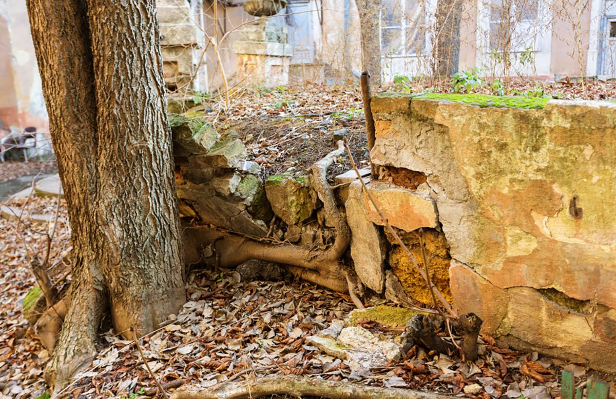 Image of a trees roots spreading into a foundation wall